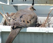 Turtledove Babies