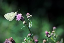 European Cabbage White Butterfly